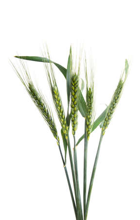 green ears of wheat isolated on white background.