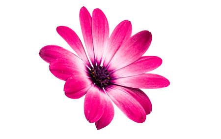 Osteospermum Daisy or Cape Daisy Flower Isolated over White Background. Close-up macro Zdjęcie Seryjne
