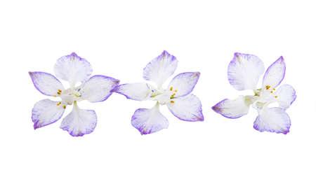 perennial delphinium flower isolated on white background Stock Photo