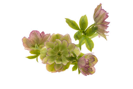 hellebore flower isolated on white background