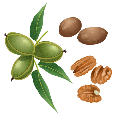 Part of pecan branch with the fruits, nuts in the shell and peeled nuts