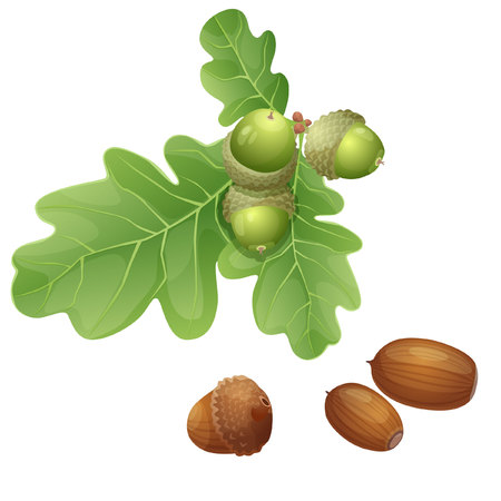 Part of oak branch with fruits and nuts in the shell Illustration