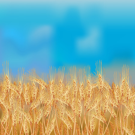 Wheat field with blue sky vector illustration. Illustration