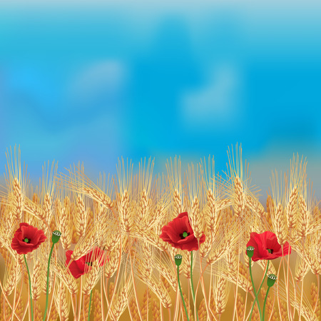 Wheat field with poppies and blue sky vector illustration.