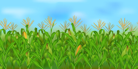 Horizontal corn field with blue sky