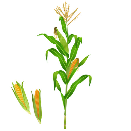 Green realistic corn plant Illustration