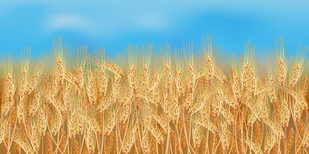 Horizontal wheat field with blue sky