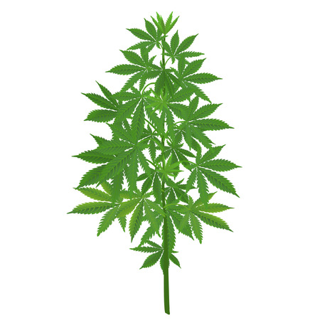 Isolated green realistic hemp bush
