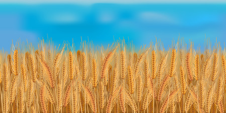 Horizontal barley field with blue sky
