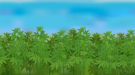 Horizontal hemp field with blue sky