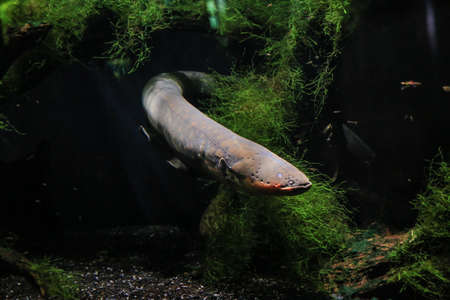 An electric eel emerges from the algae. Visible his head, fins, eye. It's dark in the background. Banque d'images