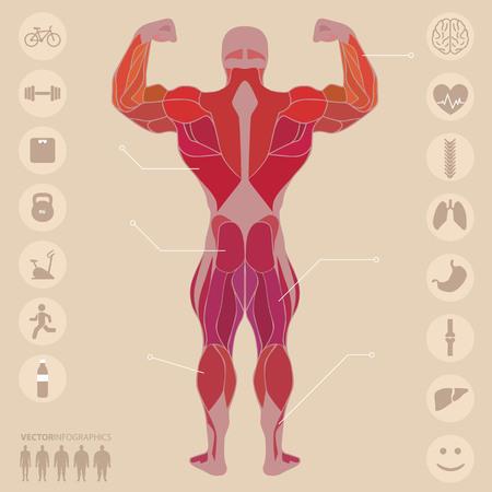 hombre deportista: Humano, anatomía, músculos, espalda, deportes, gimnasio, médico Vectores