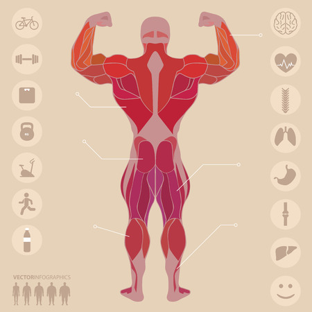Human, anatomy, muscles, back, sports, fitness, medical