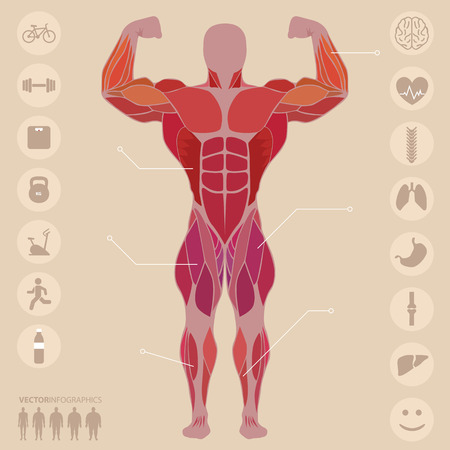 fas: Human, anatomy, anterior muscles, sports, medical