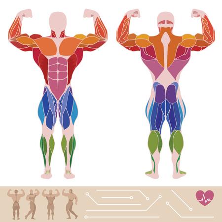 musculoso: El sistema muscular humano, anatomía, posterior y vista anterior, estilo plano, infografía