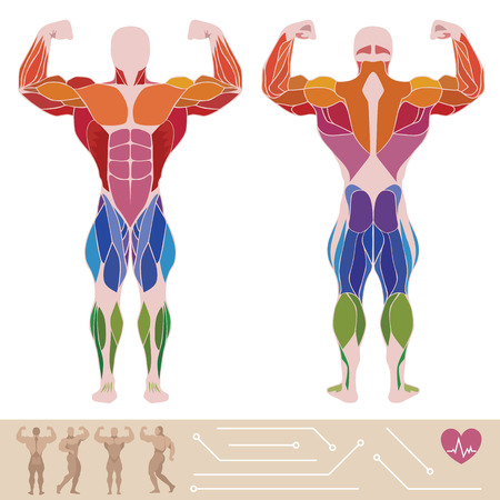 muscle anatomy: The human muscular system, anatomy, posterior and anterior view, flat style, infographics