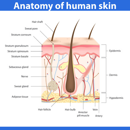 sebaceous gland: Structure of human skin, detailed description illustration Illustration