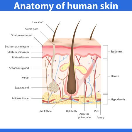 Structuur van de menselijke huid, gedetailleerde beschrijving illustratie