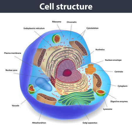 The structure of human cells with description, vector illustration