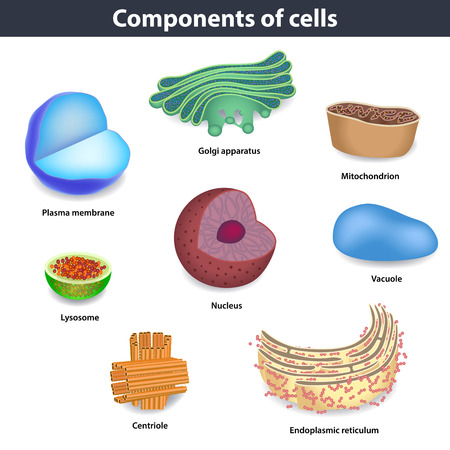 Components of human cells vector illustration, lysosome, nucleus. vacuole, goldi apparatus. mitochondrion,centriole, endoplasmic reticulum