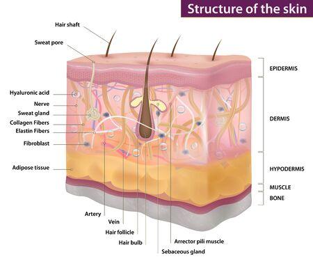 Skin structure, medicine, full description, three-dimensional realistic drawing, vector illustration