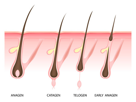 Hair growth phase, anagen, catagen, telogen, early anagen, vector illustration
