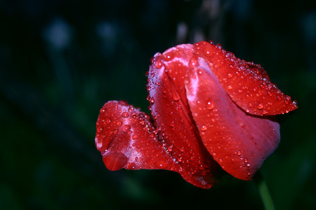 Bright red tulip flower after spring rain. Passion Flower. Red tulip symbolizes his energy, it attracts people.