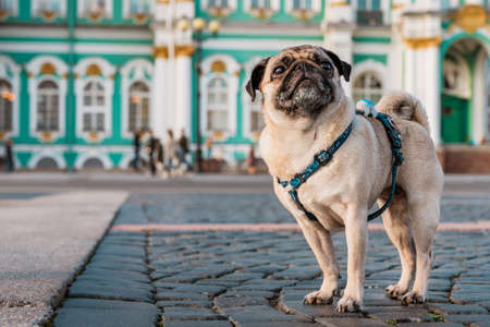 unny dog pug in a harness walks through the city streets, tourist attractions in Saint Petersburg