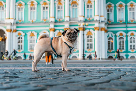 Funny dog pug in a harness walks through the city streets, tourist attractions in Saint Petersburg
