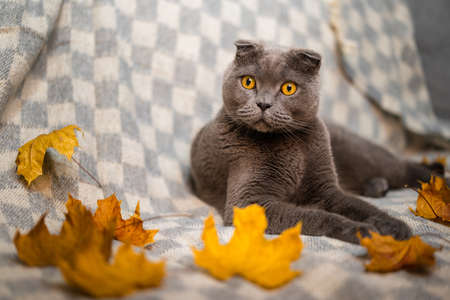 Portrait of a gray Scottish fold cat with yellow eyes sitting on a sofa with scattered yellow autumn leaves Standard-Bild