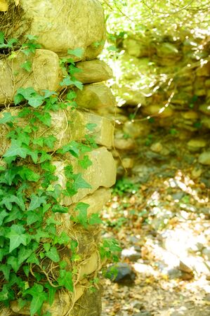 liana on a old stone wall in summer sunny day. vertical photo