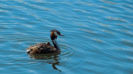 Chomga with a chick on his back swimming on the lake