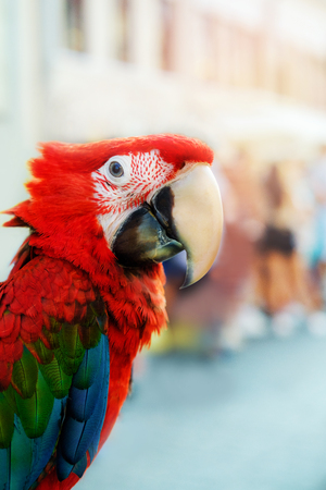 The green-winged macaw looks at the camera. Blurred Background Stock Photo