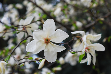 mayflower: Two magnolia flowers on a spring tropical garden