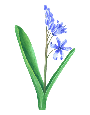 Watercolor flowers. Primrose bulbous flower isolated on white background. Decorative plant scilla Ilustracja