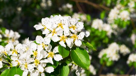 Bright white pear flowers with green leaves on the branches, lit by a warm ray of the sun. Springtime. Blooming of the kidneys. Selective focus.