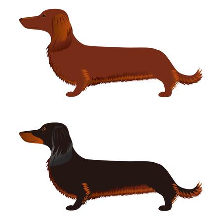 long haired dachshund vector illustration.