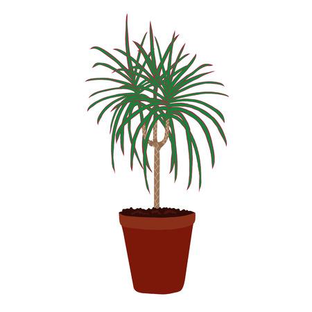 Houseplant: dracaena marginata. Plant isolated on white background. Illustration