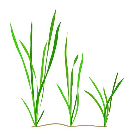 Vallisneria. Seaweed isolated on white background. Vector illustration. Иллюстрация