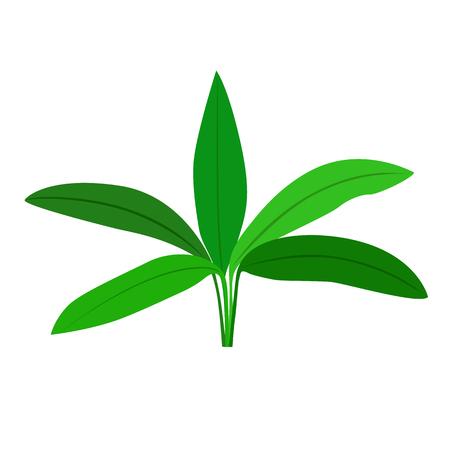 Anubias seaweed. Isolated on white background. Vector illustration. Ilustracja
