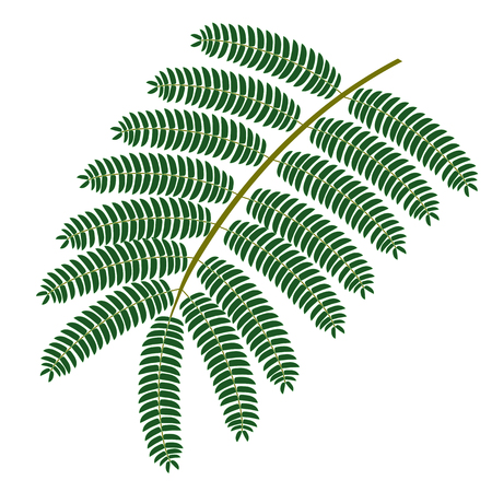 Silk tree. Leaf isolated on white background. Vector illustration.