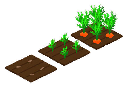 Stages of carrot growth from seed in the garden to maturation and harvest. Isometry. Isolated objects on a white background. Vector illustration. Vector Illustration