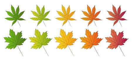 Maple leaf and Japanese red maple leaf. Set of autumn colors. Isolated leaves on white background. Vector illustration.