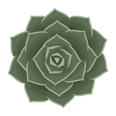 Echeveria succulent. Top view. Isolated on white. Vector illustration.