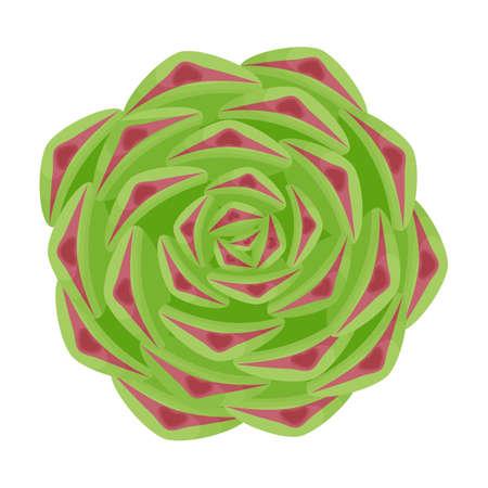Succulent sempervivum. Isolated on white background. Vector illustration. 矢量图像