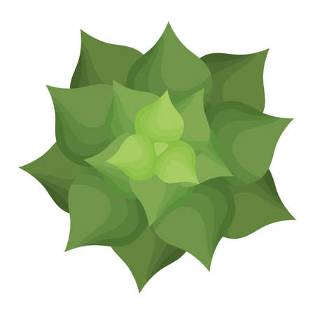 Succulent plant. Top view. Isolated on white background. Vector illustration.
