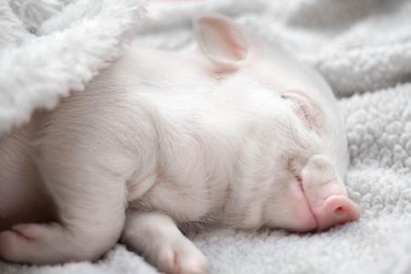 cute piggys sleeping. smiling in his sleep