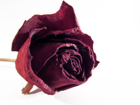 dried red rose on a white background in the dust and cobwebs