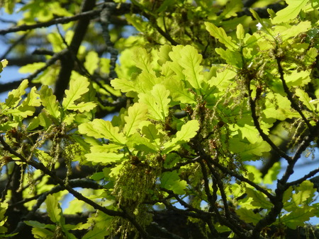 oak leaves: oak leaves Stock Photo