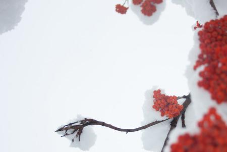 sorb: Mountain ash bush against the winter sky. Stock Photo